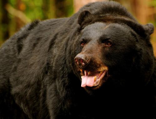 Scott County's bear hunting season is underway