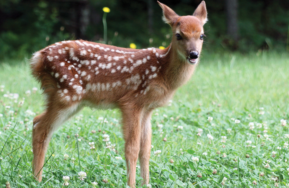 With any luck, you'll catch a glimpse of a whitetail deer fawn munching on new grasses at the Oscar Blevins Farm.