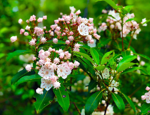 Mountain laurel blooming in Big South Fork